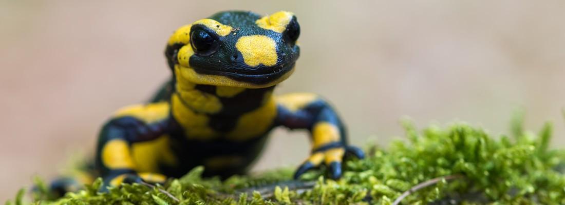 Salamander Banner